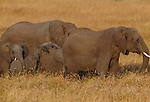 African elephant herd, Masai Mara National Reseve, Kenya