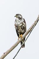 An immature Cuban Black Hawk (Buteogallus gundlachii), perched, in Las Salinas Wildlife Refuge, Zapata Peninsula, Cuba.