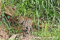 Jaguar (Panthera onca), adult male at the edge of Manu River, lowland tropical rainforest, Manu National Park, Peru.