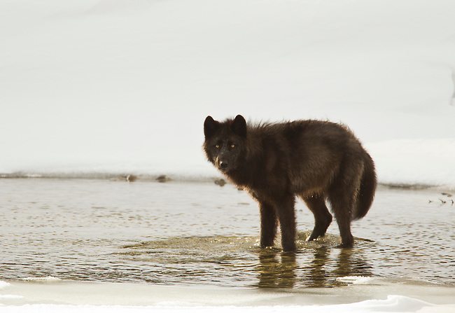 A lone wolf makes his way along a river in Banff National Park Alberta Canada in winter 2012.  This wolf is a member of the Bow Valley Pack.  Photo by Gus Curtis.
