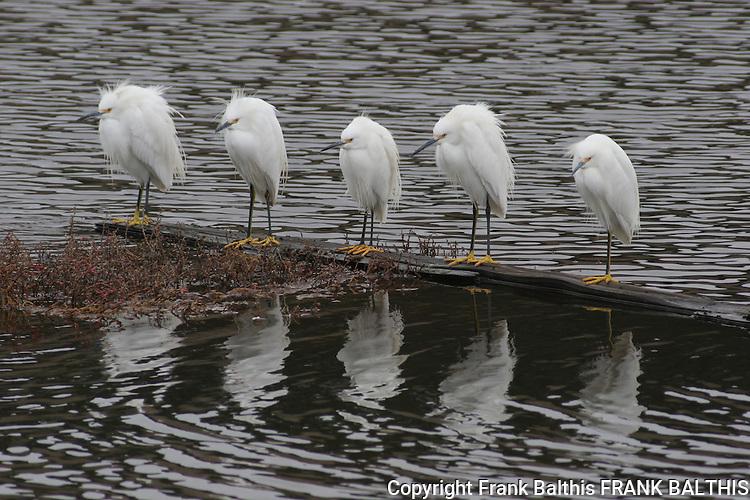 5 snowy egrets on log in marsh