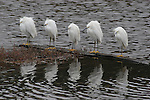5 snowy egrets on log in marsh