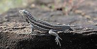 Lava Lizard, Galapagos Island