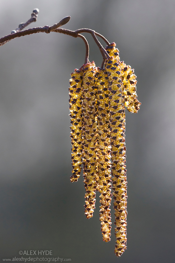 Common Alder (Alnus glutinosa) catkins. Nottingham, UK. February.
