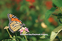 03536-044.18 Monarch (Danaus plexippus) on Pink Lantana (Lantana sp.) Marion Co.  IL