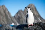 Chinstrap Penguin (Pygoscelis antarcticus) on Elephant Island, Antarctica