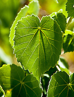 A close-up of the leaves of the rare ko'oloa'ula plant in 'Ewa on O'ahu.
