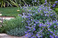 Blue flowering hardy Geranium 'Orion' in perennial border; Gary Ratway garden
