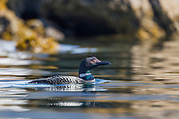 Common loon swims in Unakwik inlet in Prince William Sound, Alaska.