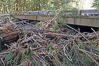 Flood and windstorm damaged trees in logjam under Ipsut Creek Bridge, Carbon River Rainforest, Mount Rainier National Park, Washington State.