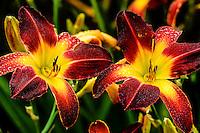 Iris, Washington