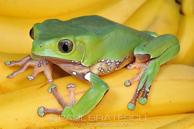 Giant Monkey Tree Frog (Phyllomedusa bicolor)