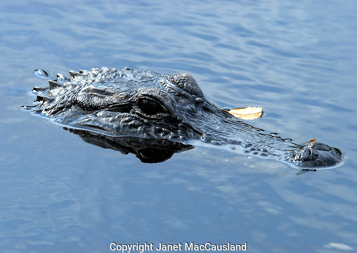 A damselfly rests on the tip of an Alligator's nose
