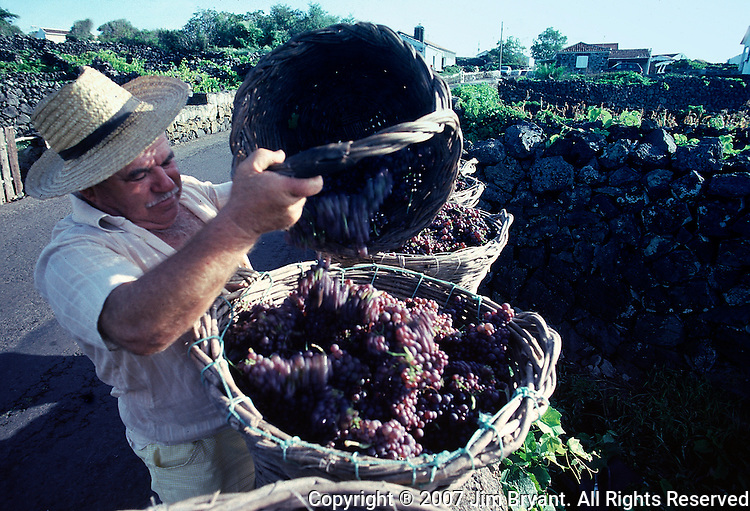 A man pours freshly harvested grapes from his vineyard into baskets. The first step in centuries-old wine-making, grapes harvested in the fall, await to be transported from vineyard to winery.  (Jim Bryant Photo).....