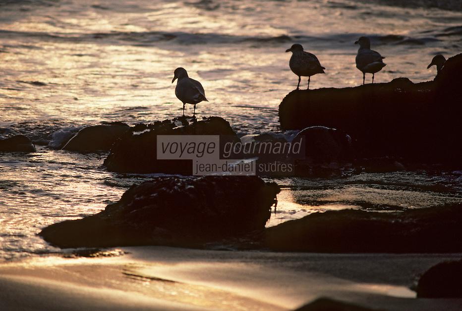 Europe/France/Bretagne/56/Morbihan/Presqu'île de Quiberon: Oiseau sur la côte sauvage