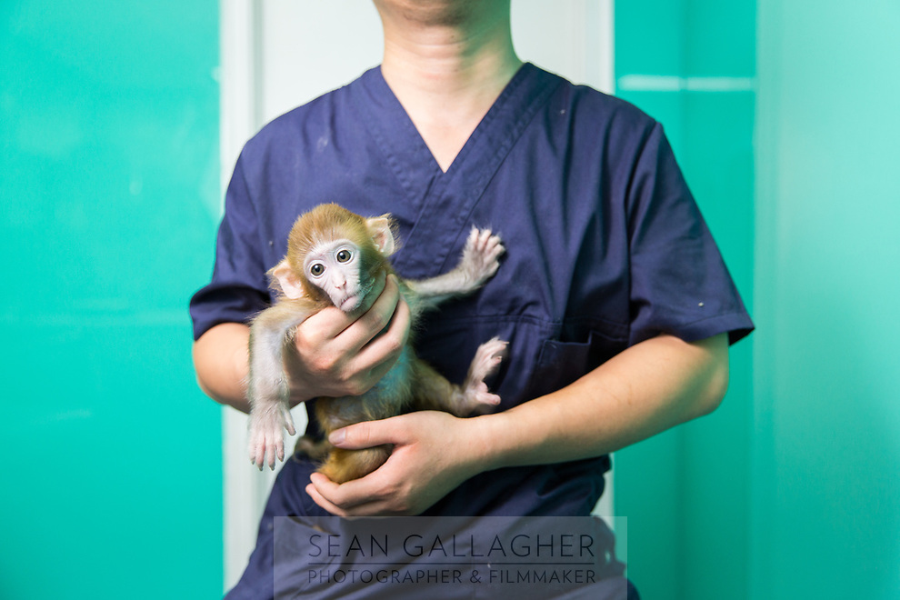 A veterinarian holds a Rhesus Macaque (Macaca mulatta) in a store in central Beijing. It has become increasingly difficult for people to own monkeys as pets in China with laws making it illegal for most species. This does not stop many, especially young people, who see moneys as unique exotic pets that make them stand out amongst their peers. The Rhesus Macaque is mainly found in South East Asia.