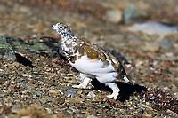 White tailed Ptarmigan - Lagopus leucura - Jasper National Park, Alberta, Canada