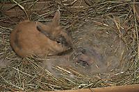 Zwergkaninchen, Zwerg-Kaninchen, Mutter beschnuppert ihre wenige Tage alte, noch blinde Junge in ihrem Nest im Stall, dwarf rabbit