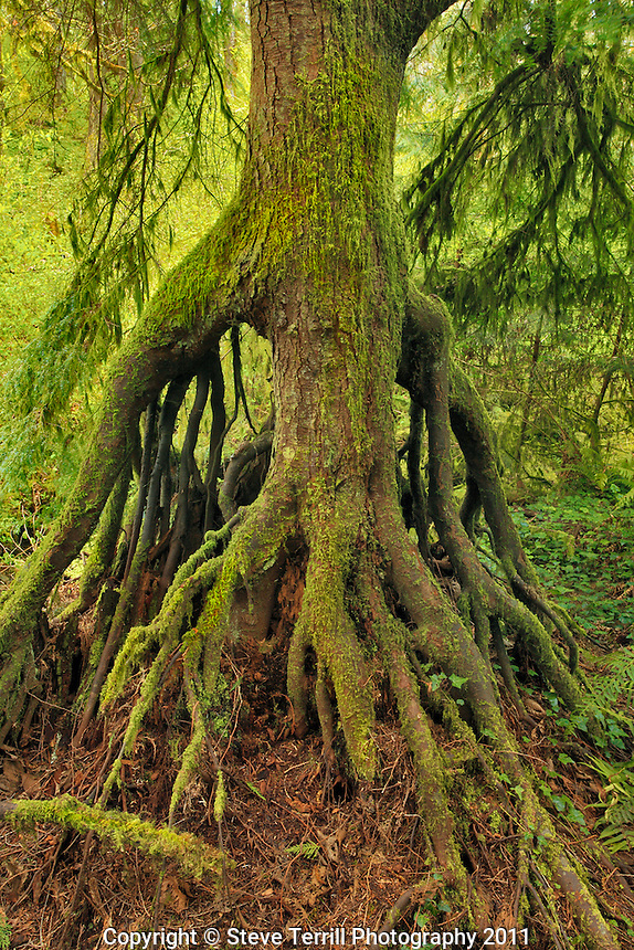 Cedar growing from nursery stump on bank of Nettle Creek in Tryon Creek State Park, Oregon