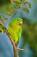566700047 a wild adult green parakeet aratinga holochlora perches on a tree limb at quita mazatlan in mcallen texas