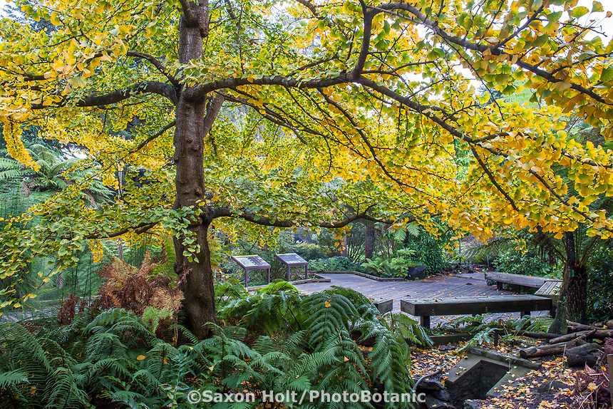Ginkgo biloba tree with fall foliage in Ancient Plant Garden section of San Francisco Botanical Garden