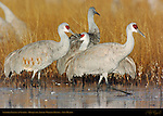 Sandhill Cranes at Sunrise, Bosque del Apache Wildlife Refuge, New Mexico