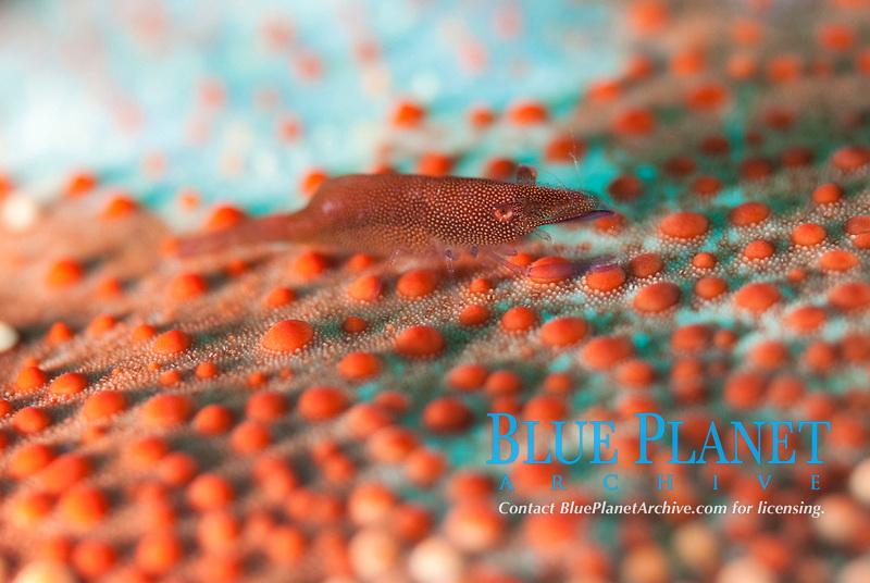 Commensal Shrimp, Zenopontonia soror, on Cushion Star, Culcita novaeguineae, Cauldron Point dive site, Komba Volcano, near Alor, Indonesia, Pacific Ocean