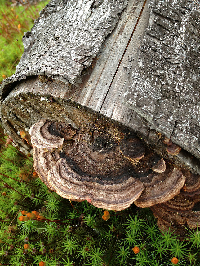 Fungus on Fallen Cut Tree, Witherle Woods, Castine, Maine, US