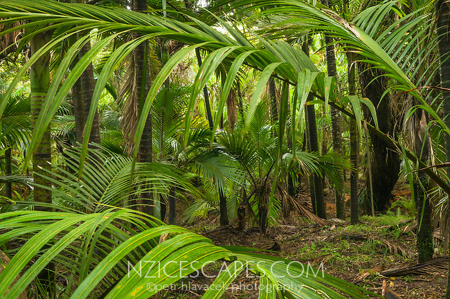 Interior of Nikau Palm forest at Kohaihai, Kahurangi National Park, West Coast, Buller Region, New Zealand