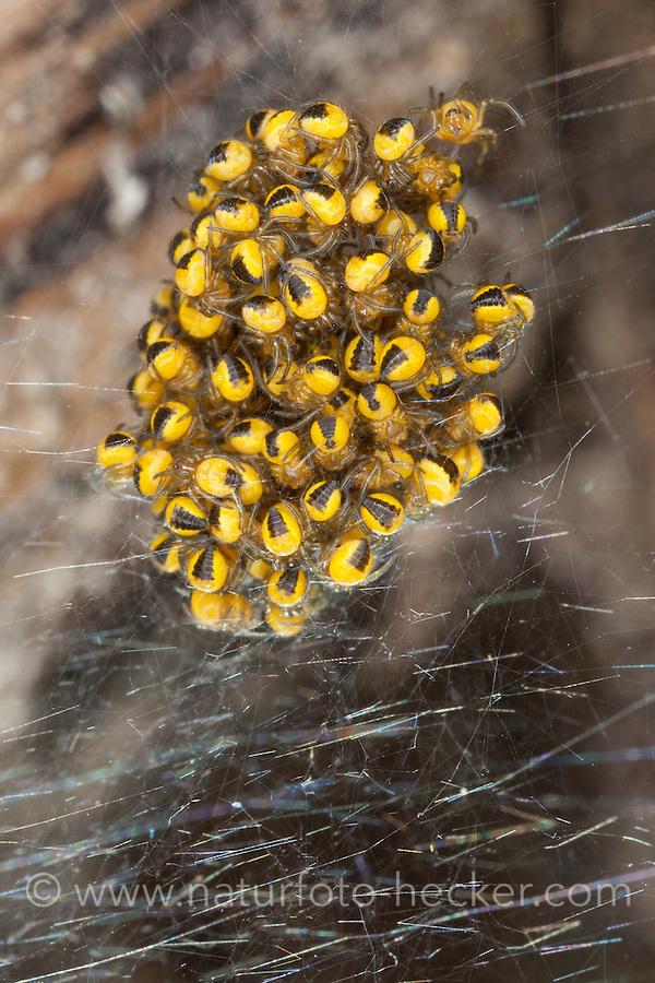 Garten-Kreuzspinne, Jungtiere im Kokon, Jungspinne, Jungspinnen, Gartenkreuzspinne, Gemeine Kreuzspinne, Araneus diadematus, cross orbweaver, European garden spider, cross spider, spiderling, spiderlings