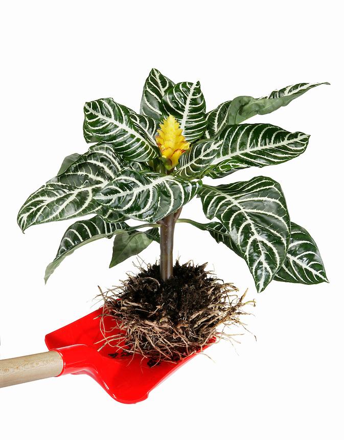 Zebra Plant w/Exposed Roots
