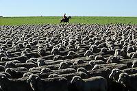 URUGUAY Estancia La Magdalena bei Salto, 18.ooo Hektar Weideland fuer 12.000 Rinder und 18.000 Schafe und 5.000 Hektar Ackerland fuer Reis, Gensoja und Zuckerhirse, Gauchos auf Pferd treiben eine Schafherde  / .URUGUAY Salto, ranch La Magdalena, a gaucho ( cowboy ) on horse and Merino sheeps