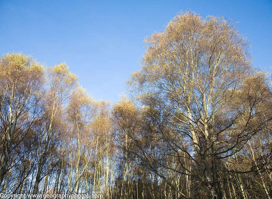 Betula pendula silver birch trees autumn Suffolk Sandlings heathland, Dunwich forest, Suffolk, England