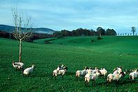 Spanien, Navarra, Schafe bei Roncesvalles