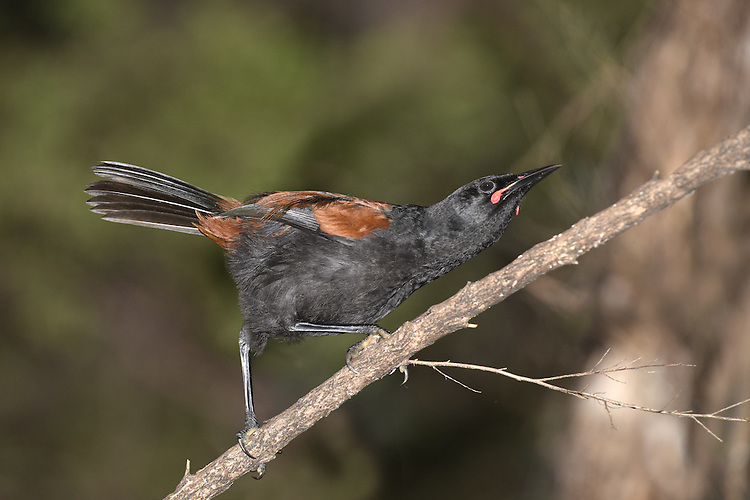 North Island Saddleback - Philesturnus rufusater