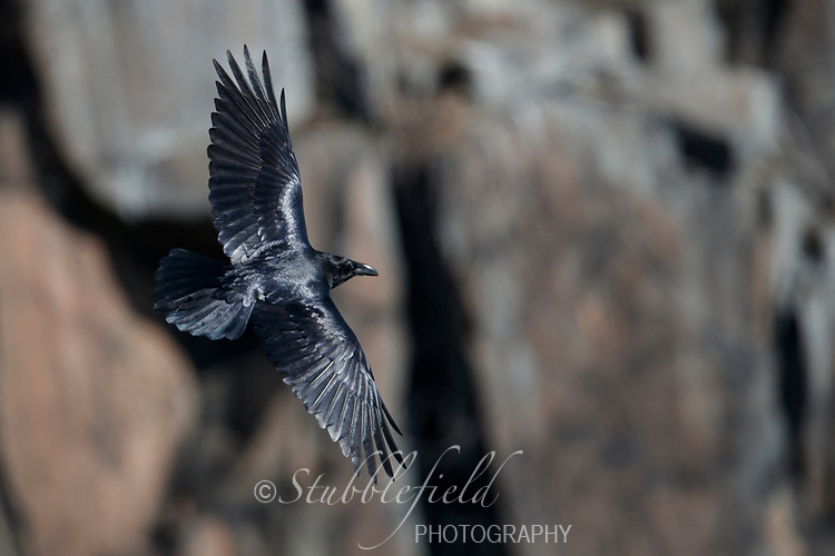 Common Raven (Corvus corax principalis), adult in flight over the Hudson River at Palisades Interstate Park, State Line Lookout in Alpine, New Jersey.