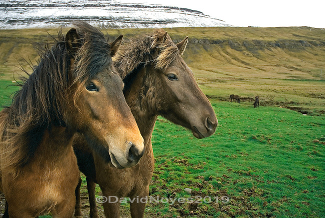 Descended from horses brought to Iceland by Scandinavian settlers in the 9th century, the Icelandic horse is small, but sturdy and hardy. It also displays two gaits in addition to the typical walk, trot, canter and known for its ability to cross rough terrain.