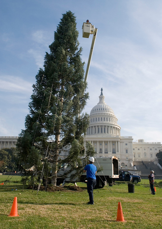 Workers secure the U.S. Capitol Christmas Tree with metal cables on Tuesday, Nov. 28, 2006. The 65-foot Pacific Silver Fir, from the Olympic National Forest will be decorated with more than 3000 ornaments once it has been secured to the ground. The lighting ceremony will be held on Dec. 6.
