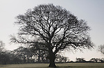 To be captioned after editing Outline of leafless oak tree standing in field alone, Sutton, Suffolk, England