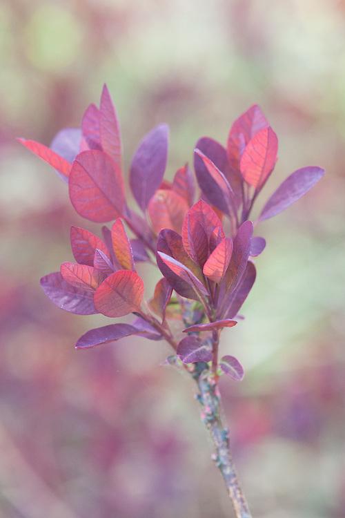 Cotinus coggygria 'Foliis Purpureus', mid May.