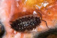 1Y16-504z   Sow Bug on decaying pumpkin, Oniscus sp., Fusarium Fruit Rot lesions (Pink area], Fusarium solani