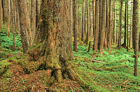 Old growth western hemlock trees growing in temperate rainforest near Point Adolphus on Chichagof Island in Tongass National Forest west of Juneau, Alaska, AGPix_0698.