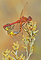 362740005v a mated pair of wild saffron-winged meadowhawks sympetrum costiferum perch on a desert plant near de chambeau ponds mono county california united states