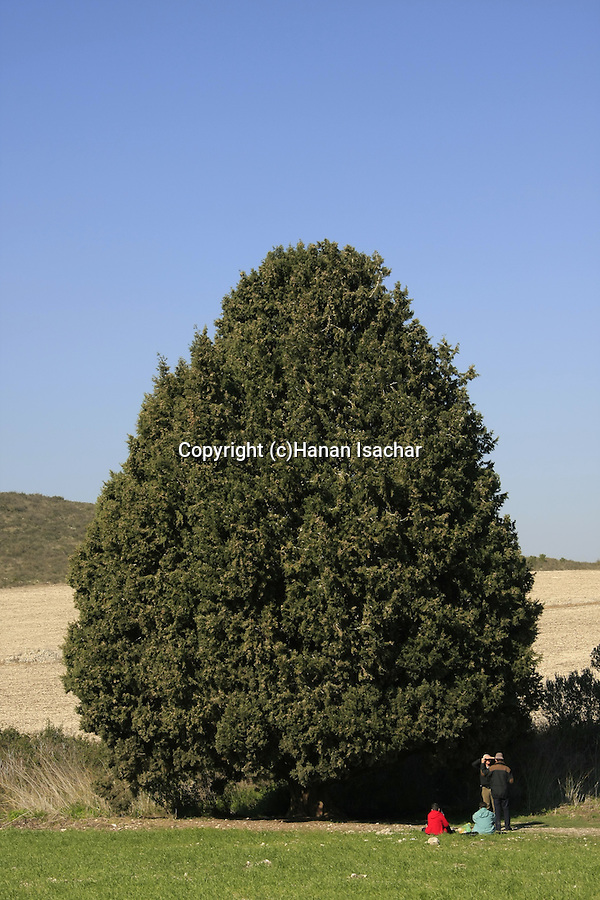 Israel, Cypress tree (Cupresus Sempervirens) in Menashe Heights