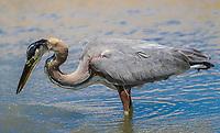 A bird called Gray Heron, Ardea cinerea, searches for food in the salt water from the sea towards the Kino Viejo estuary.<br /> The gray heron or airón is a species of bird of the Ardeidae family of Eurasia and Africa, a slender and large aquatic bird with long neck and legs, with mainly gray plumage. It inhabits rivers, lakes and all kinds of freshwater and brackish wetlands. (Photo: Luis Gutierrez / NortePhoto)<br /> <br /> Un ave llamada Garza gris, Ardea cinerea,  busca alimento en el agua salada proveniente del mar hacia el estero de Kino Viejo. <br /> La garza real  o airón es una especie de ave pelecaniforme de la familia Ardeidae propia de Eurasia y África. Es un ave acuática esbelta y de gran tamaño, de largos cuello y patas, con plumaje principalmente gris. Habita en ríos, lagos y todo tipo de humedales de agua dulce y salobre. (Foto: Luis Gutierrez/NortePhoto)