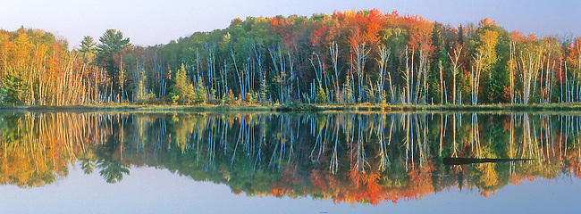 Birch tree trunks pop out of a fall colored forest background on the shore of Council lake in Michigan's Upper Peninsula's Hiawathwa National Forest, in Alger County, Michigan.