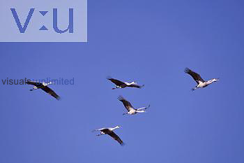 Sandhill Cranes in flight (Grus canadensis), North America.