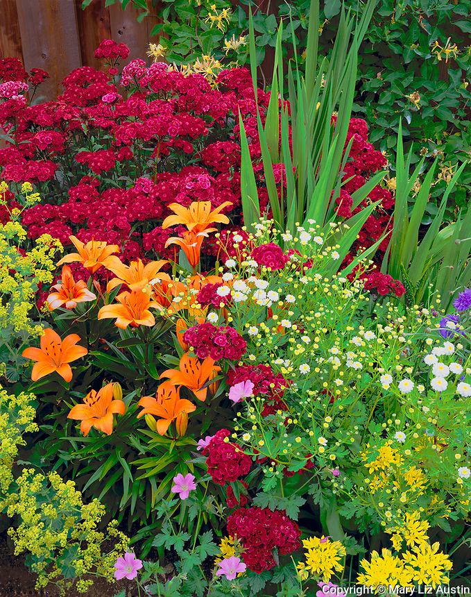 Vashon Island, WA<br /> Garden detail of orange lilies, sweet william, ladies mantle, feverfew, and allium