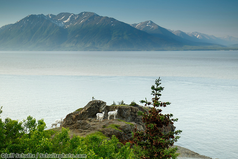 Dall sheep ewes and lamb on rocks in Chugach Mountains of Chugach State Park.  Kenai Mountains and Turnagain Arm background. Summer.   Southcentral, Alaska  June 2016<br /> <br /> (C) Jeff Schultz/ Schultzphoto.com