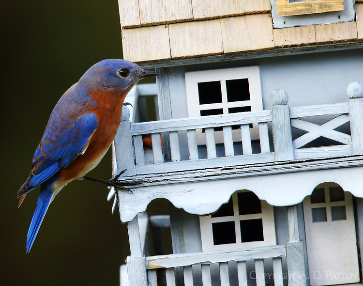 Male eastern bluebird, is anybody home?